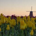 Tulips, Mills & Wooden Shoes